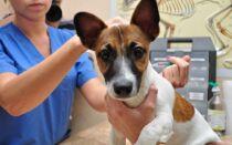 Как самому сделать прививку собаке