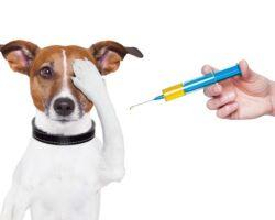 Осложнения у собак после вакцины от бешенства: шишка, понос, вялость, рвота