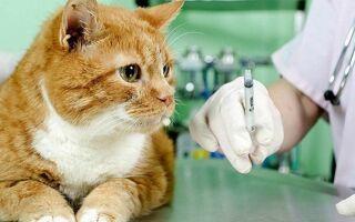 Прививки и вакцинация кошек от лишая