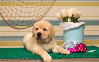Первая прививка щенкам лабрадора: в каком возрасте делают