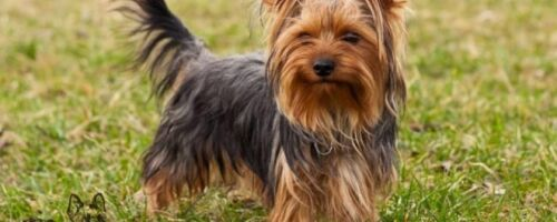 Прививки для йоркширского терьера: подготовка щенка, таблица вакцинации