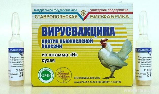 Прививка для кур