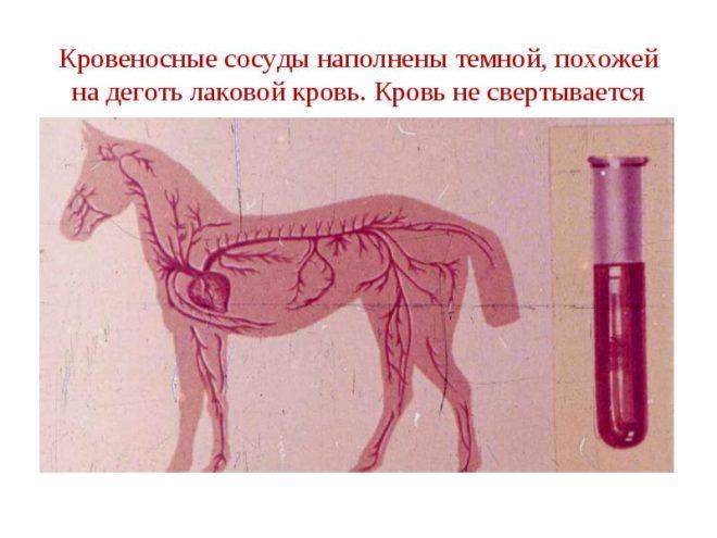Сибирская язва у лошади