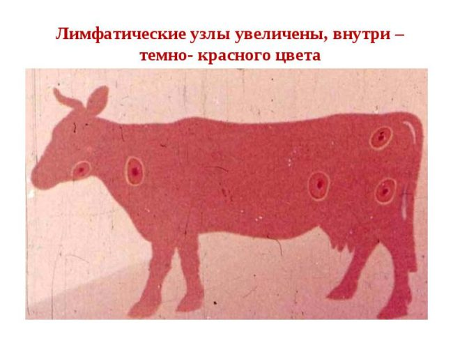 Лечение сибирской язвы
