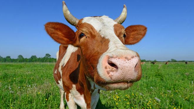 Лептоспироз у коров