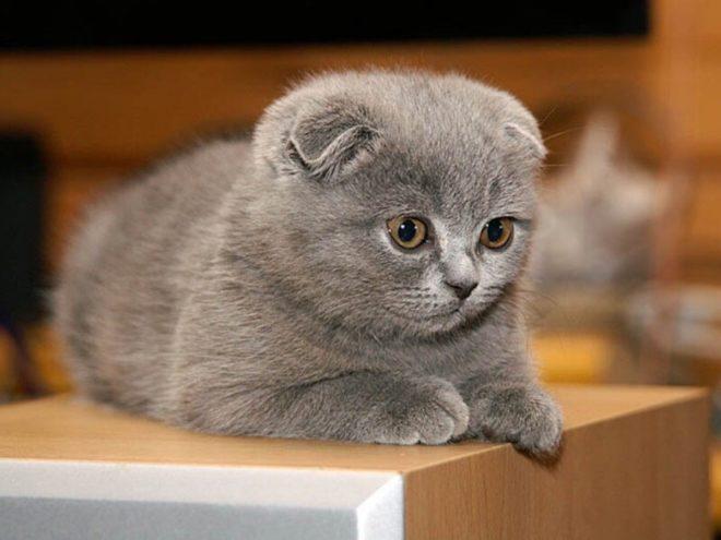 Прививки котятам шотландским вислоухим