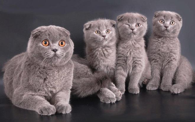 Первые прививки для котят шотландских
